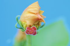 Adwent nowi kwiaty, tło, makro- fotografia Obrazy Royalty Free