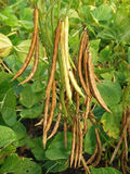Adzuki bean pods, Vigna angularis Stock Image