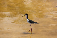 Ae'o wading through the water. In Kealia Pond, Maui royalty free stock images
