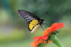 aeacus birdwing de oro de los troides Imagen de archivo libre de regalías