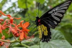 Aeacus Birdwing Troides бабочки золотое на цветке Стоковые Фото