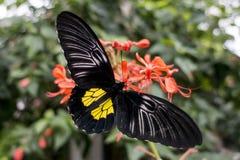 Aeacus de oro de Birdwing Troides de la mariposa en la flor Imagenes de archivo