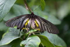 Aeacus de Troides de la mariposa Imagenes de archivo