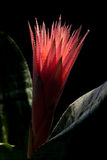 Aechmea. On sky background image Stock Photography