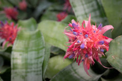 aechmea Stockbild