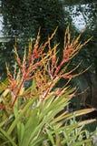 Aechmea-blanchetiana Blütenstand Stockbild