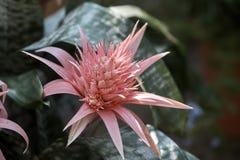 Aechmea bromeliacea roślina także znać jako aecmea lub ecmea obrazy stock