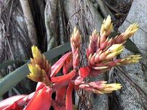 Aechmea-chantinii - eine tropische Blume Stockbild