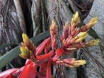 Aechmea-chantinii - eine tropische Blume Stockfotografie