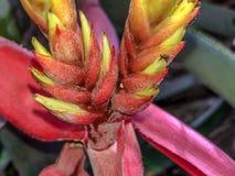 Aechmea-chantinii - eine tropische Blume Stockbilder