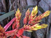Aechmea-chantinii - eine tropische Blume Lizenzfreie Stockfotografie
