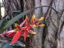 Aechmea-chantinii - eine tropische Blume Lizenzfreie Stockfotos