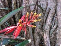 Aechmea-chantinii - eine tropische Blume Stockfotos