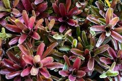 Aechmea-fasciata Anlage in der purpurroten Pastellfarbe Stockfoto