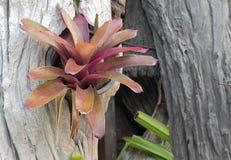 Aechmea-fasciata Art von lokalem Brasilien Lizenzfreies Stockbild