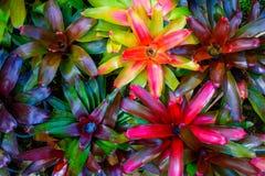 Aechmea-fasciata Art von lokalem Brasilien pflanzt buntes Stockfotos