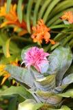 Aechmea-fasciata Blüte im Garten Lizenzfreie Stockfotografie