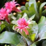 Aechmea-fasciata Blüte im Garten Lizenzfreie Stockfotos
