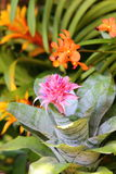 Aechmea fasciata  blossom in garden Royalty Free Stock Photography