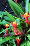 Aechmea fasciata  blossom in garden Royalty Free Stock Images