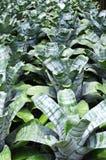 Aechmea fasciata Blume Stockbilder