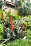 Aechmea-fasciata Blumen beim Blühen Lizenzfreie Stockfotografie
