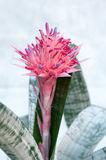 Aechmea-fasciata (Bromeliaceae-Ananas) Lizenzfreie Stockfotografie