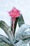 Aechmea-fasciata (Bromeliaceae-Ananas) Stockfotografie