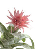 Крупный план Aechmea Fasciata Bromeliad изолированный на белизне Стоковые Изображения
