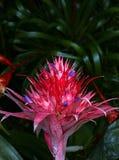 Aechmea fasciata Bromeliad Royalty Free Stock Photos