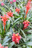 Aechmea fasciata,Bromeliad pink flower. Stock Photography