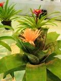Aechmea fasciata eller silvervas eller blomma för urnaväxtbromelia Arkivfoton