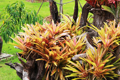 Aechmea-fasciata, gepflanzt auf totem Bauholz und einem grünen Hintergrund Lizenzfreie Stockfotos