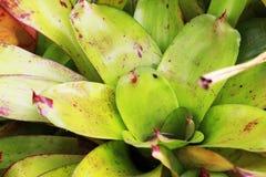 Aechmea-fasciata, gepflanzt auf totem Bauholz und einem grünen Hintergrund Lizenzfreies Stockfoto
