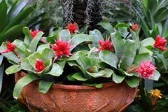 Aechmea fasciata Royalty Free Stock Photo