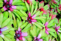 Aechmea fasciata Stock Images