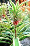 Aechmea fasciata Royalty Free Stock Photos