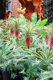 Aechmea fasciata Stock Photos