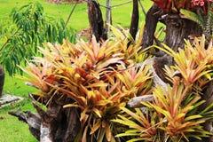 Aechmea fasciata, zasadzający na nieżywym szalunku i zielonym tle Zdjęcia Royalty Free