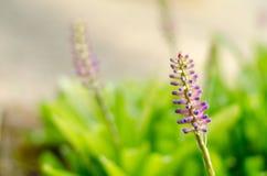 Aechmea-gamosepala Blühen Stockbilder