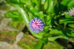 Aechmea-gamosepala Blühen Stockbild