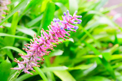 Aechmea-gamosepala, Bromeliaceae Stockfotos
