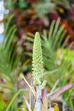 Aechmea-paniculigera Blume im Garten Lizenzfreies Stockfoto