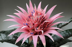 Aechmea Primera Royalty Free Stock Images