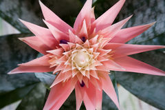 Aechmea Primera Royalty Free Stock Photos