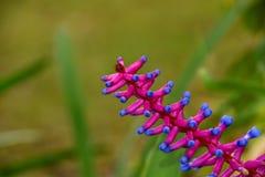 Aechmea rosado y azul Foto de archivo libre de regalías