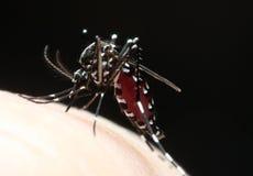 Aedes απορροφώντας αίμα κουνουπιών Στοκ εικόνα με δικαίωμα ελεύθερης χρήσης