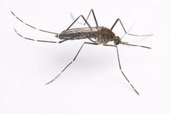 Aedes κουνούπι elsiae Στοκ φωτογραφίες με δικαίωμα ελεύθερης χρήσης