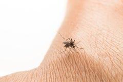 Aedes Aegypti Закройте вверх по москиту всасывая человеческую кровь Стоковые Изображения