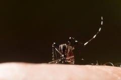 Aedes Aegypti Закройте вверх по москиту всасывая человеческую кровь Стоковая Фотография